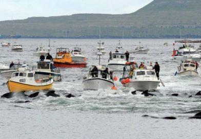 Ужасные традиции: на Фарерских островах состоялась традиционная охота на дельфинов